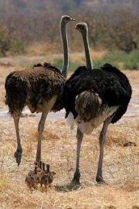 Ostriches with Young