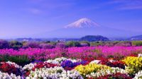 Mt Fuji & Colorful Field of Flowers