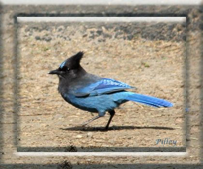 Stellar jay bird in the trees and eating off the tables.