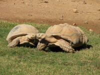 Zoo #5--tortoise love