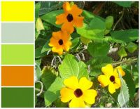 thunbergia palette