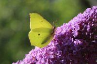Backlit Brimstone butterfly (citroenvlinder)