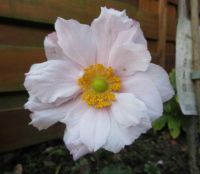 My last Anemone of this year!
