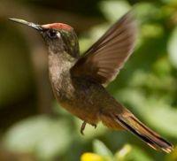 Blossomcrown Hummingbird this is the Santa Marta