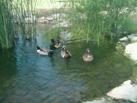 Ducks on Water