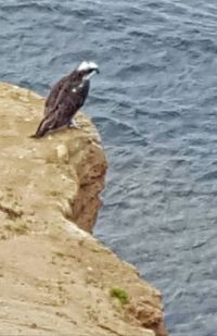 Osprey Fishing at Sunset Cliffs