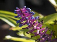 Matchstick Bromeliad - Aechmea gamosepala