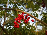 Lovely bunch of red berries found growing on a tree in the Marina Bay Park East