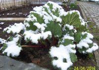rebarbora pod sněhem