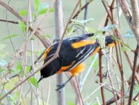 More Birds: Baltimore Oriole male feeding