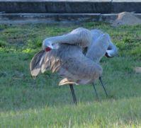 Sand Hill Cranes preening