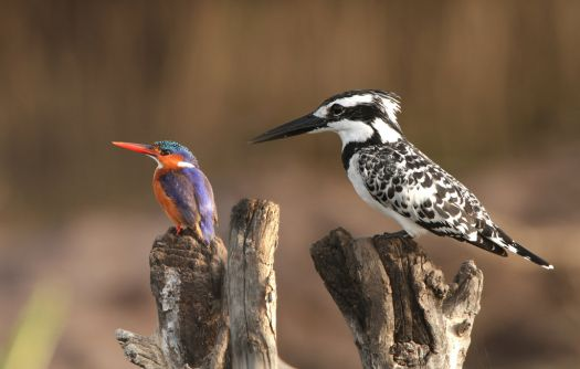 Malachite & Pied Kingfisher.