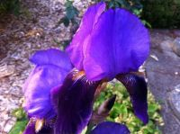 My irises are starting to bloom -- yay!