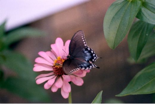 Blue Butterfly on Pink Zinnia