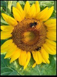 ~Sunflower~