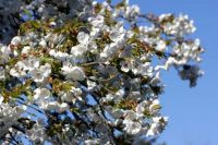 Blossom at Bluebell Arboretum, Smisby