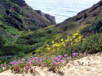 Torrey Pines - spring flowers - Pacific Ocean