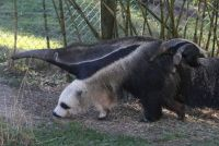 Optical Illusions - Giant Anteater's front legs look like a Panda!