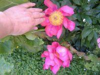 Garden - Flowers - Peonies 5