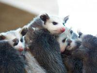 Possum Pile