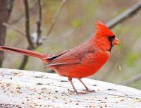 My Cardinal