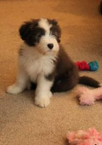 Luna Bearded Collie Puppy