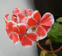Her name is  Mr. Wren, I love this geranium!!