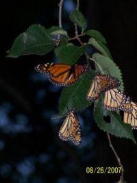monarchs 4