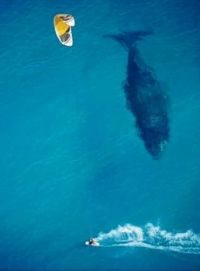 BLUE WHALE AND PARA-SURFER