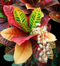 Croton in flower