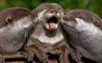 picture-of-otter-getting-two-kisses