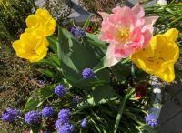 Surprise pink tulip! :-))