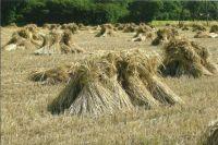 Harvest straw - sheaves / stooks