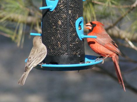 Female House Finch and Male Cardinal