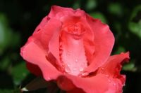 A rose with rain drops