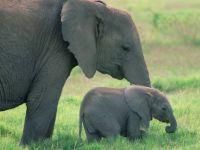 Elefánt mama-baba