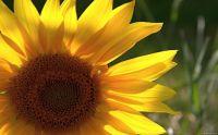 Sunflower(3)