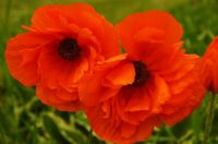 Two Poppies--PB