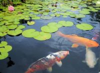 Koi Fish and Lily Pads