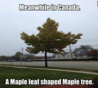 Maple Leaf Treee