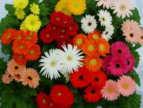 A bunch of Gerberas (smaller)