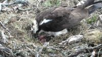 Osprey mum in waiting. Loch of the Lowes 2016