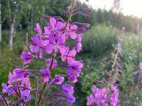 Rosebay willowherb/Fireweed
