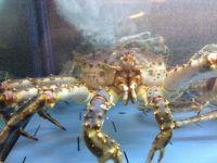 Crab for Dinner??