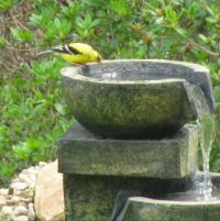 goldfinch in the back yard