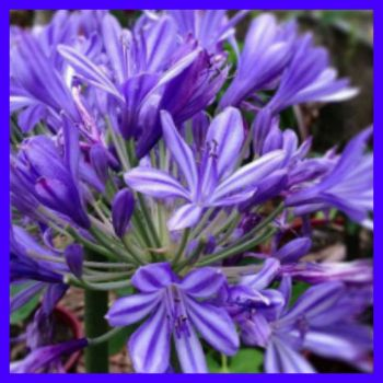 Agapanthus.(Christmas Candles)