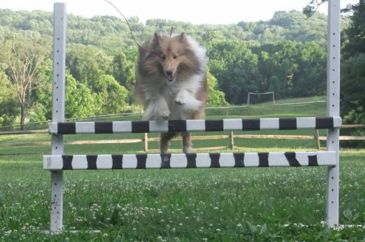 Jumping Sheltie