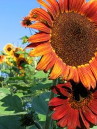 2009-08-24 SunFlower_08