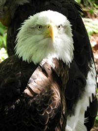 Bald Eagle at Zoo