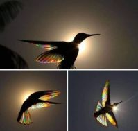 Sunlight passing through the feathers of a Black Jacobin Hummingbird
